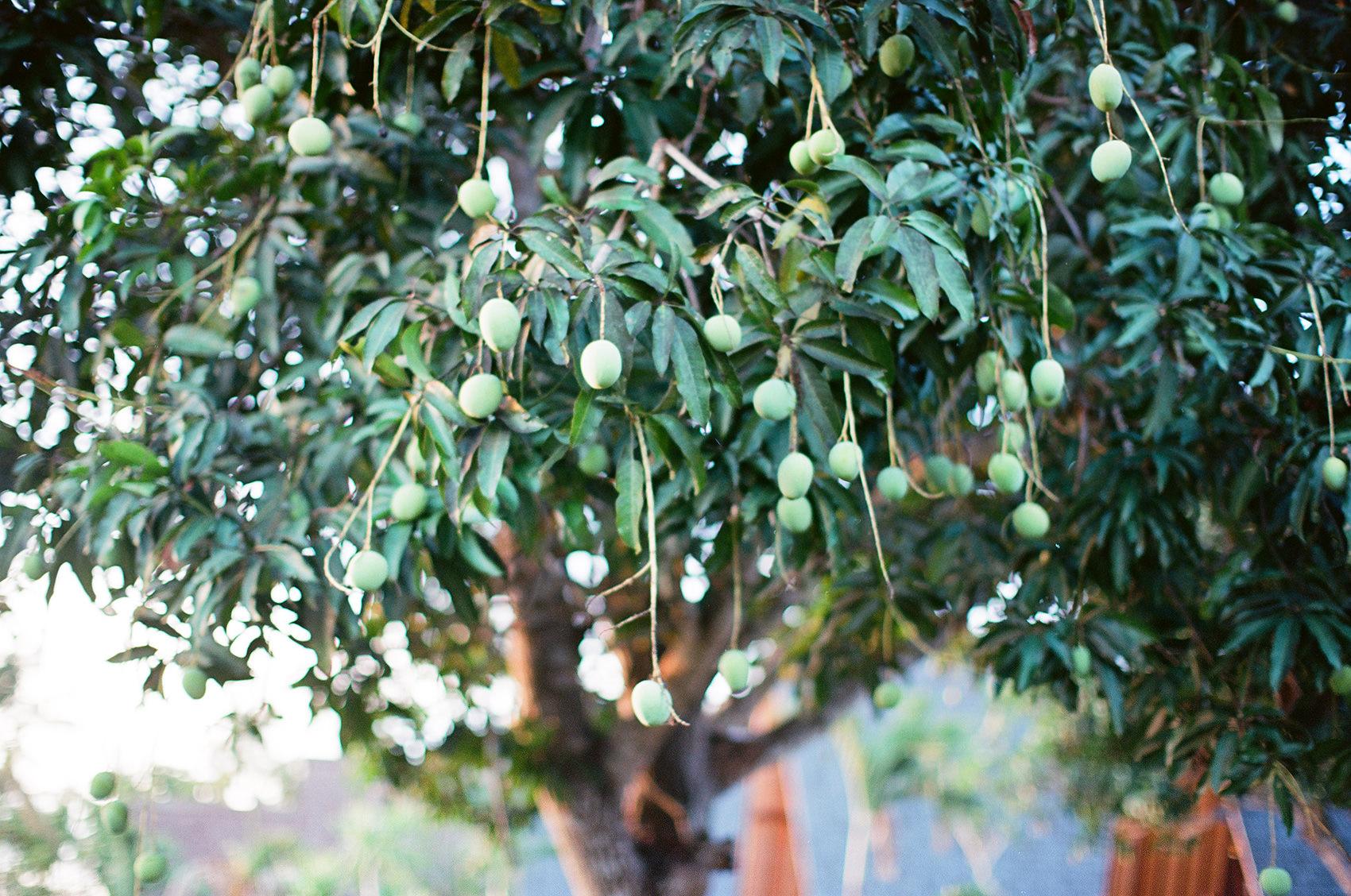 Mango Tree at Batan Sabo Cottage
